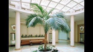 ХОВЕЯ или КЕНТИЯ – медленно растущая пальма   Уход в домашних условиях