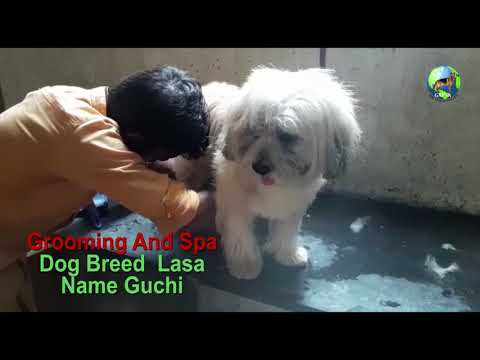 Dog Breed Lasa Grooming and Spa Part - 1