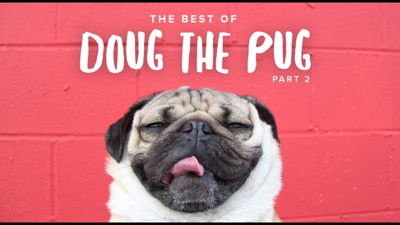 Best of doug the pug part 2 youtube best of doug the pug part 2 m4hsunfo