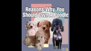 Why Poodles are the Best Dog Breed| Mama Etchetera