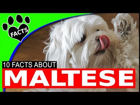 dogs-101:-maltese-most-popular-dog-breeds---animal-facts