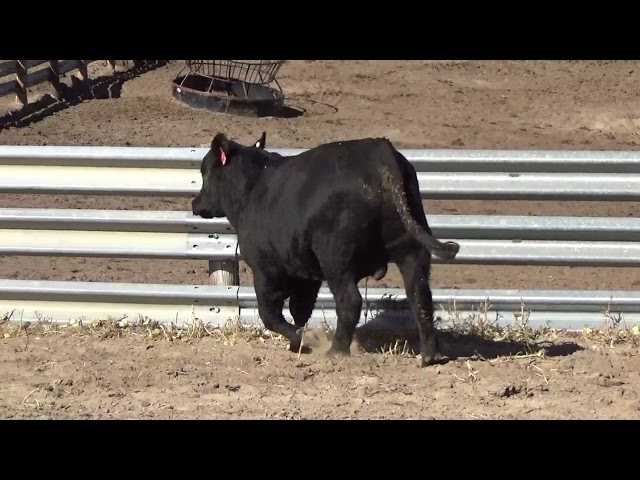 Connealy Angus Lot 74
