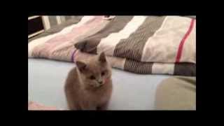 AWESOME Tricks! British Shorthair Kitten/Baby Learns Like a DOG!!*CRAZY!BKH