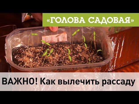 Голова садовая - ВАЖНО! Как вылечить рассаду