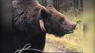 5 Всероссийские состязания лаек по медведю и кабану 1999 г.