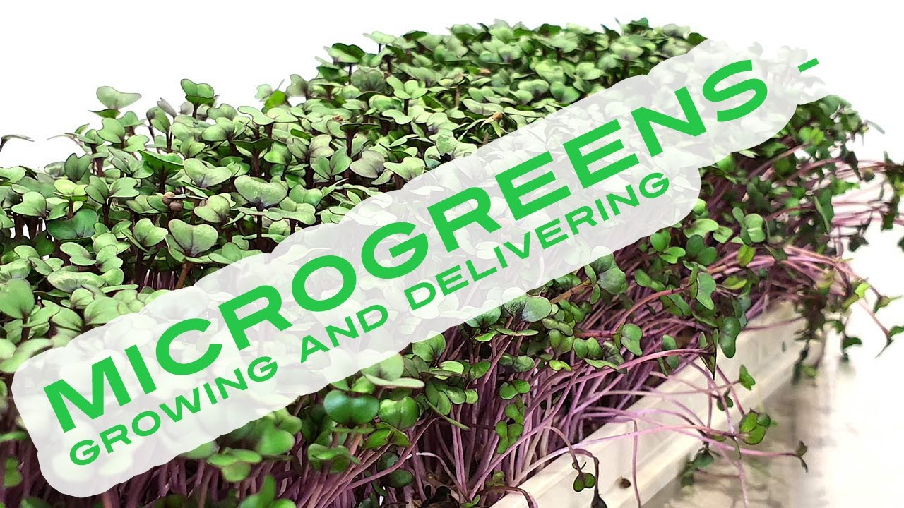 Microgreens - Growing and delivering [NEW METHOD]