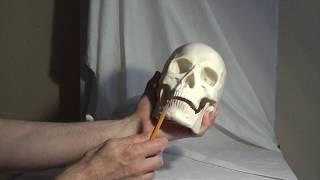 Уроки скульптуры и рисунка: изучение черепа человека, часть 1
