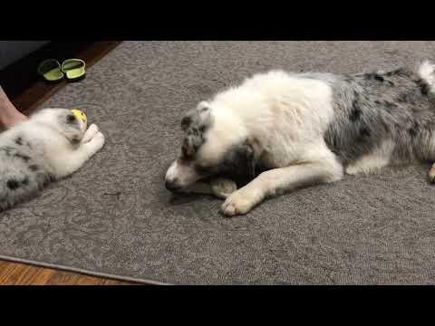 Australian Shepherd Puppy Lexi is SO CUTE!!!