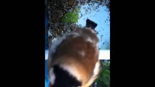 Goldfinch switty