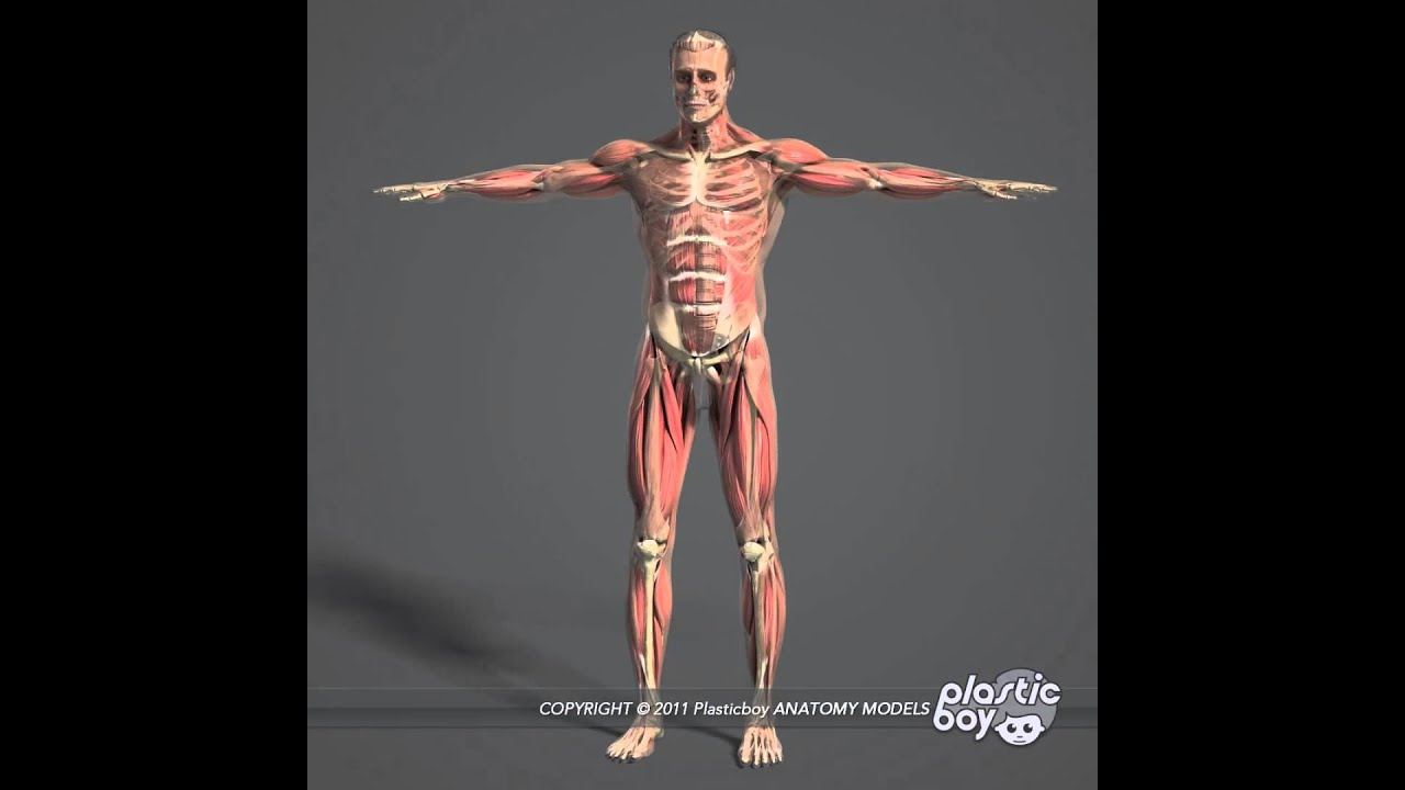 Human Muscle Anatomy Complete 3D Model Pack (Fully Textured) - www ...