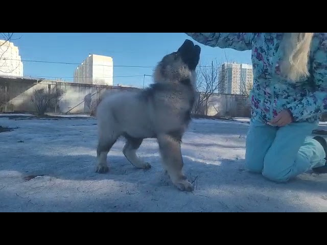 Caucasian Shepherd Dog  Male #1 for sale (3 month) video 2