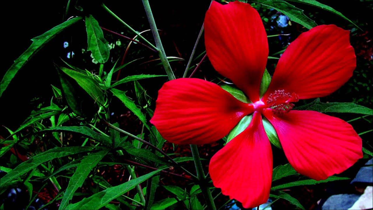 Hibiscus for sale youtube hibiscus for sale izmirmasajfo