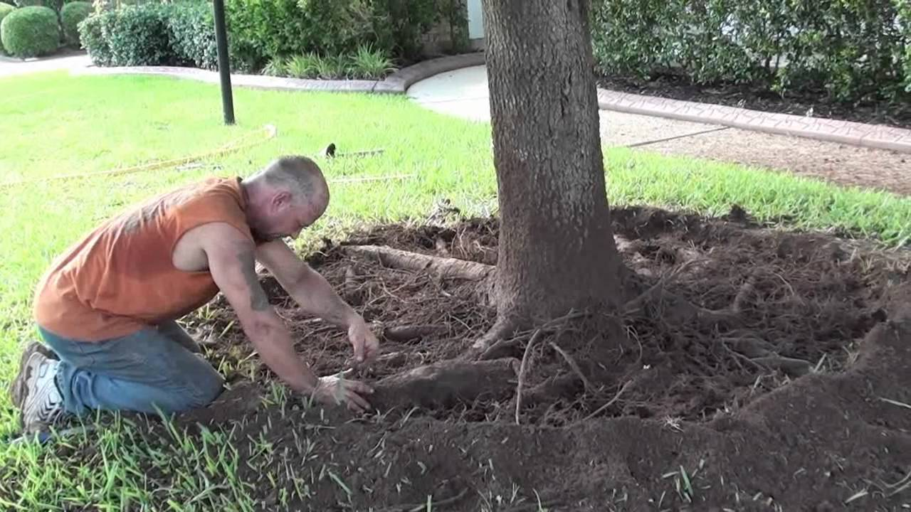 Landscaping Around Trees With Big Roots : Sidewalk tree roots gce gibneyce