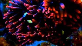 Clownfish Loving the RBTA at night