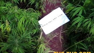 Big Poison, Rudealis Skunk, outdoor, Akseeds, THC-THC