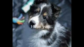 Sheltie Rescue  Cries of the Forgotten