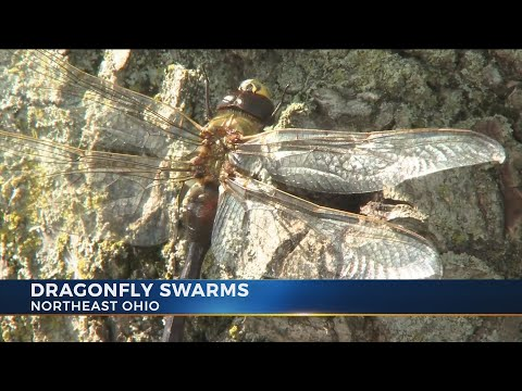 Dragonflies, Along With Other Insects And Birds, Make A Splash On Doppler Radar