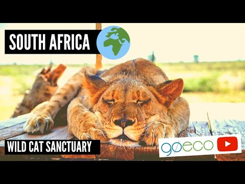 Volunteer with Wild Cats in South Africa | GoEco