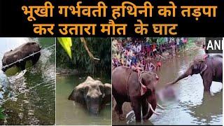 Elephant Died At Velliyar River : भूूखी गर्भवती हथिनी को तड़पा कर उतारा मौत के घाट : Elephant Death