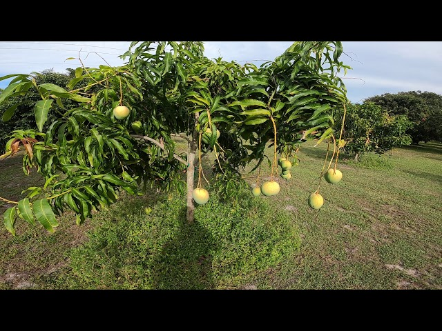 Mango trees, Venus Little Gem, Alphonso