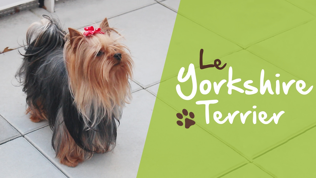 Le yorkshire terrier youtube - Dessiner un yorkshire ...