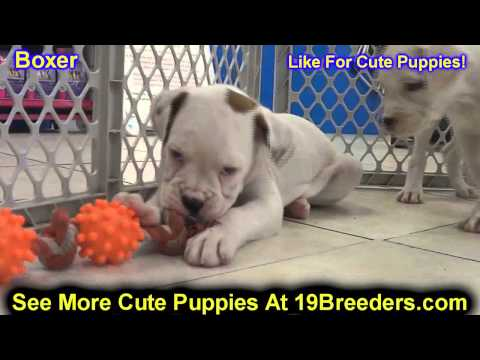 boxer,-puppies-for-sale,-in,-bellevue,-washington,-wa,-yakima,-kitsap,-thurston,-clark,-spokane,-sno