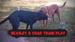 Charlie Chesapeake Bay Retriever Dog & Beasley The Labrador Playing | Training