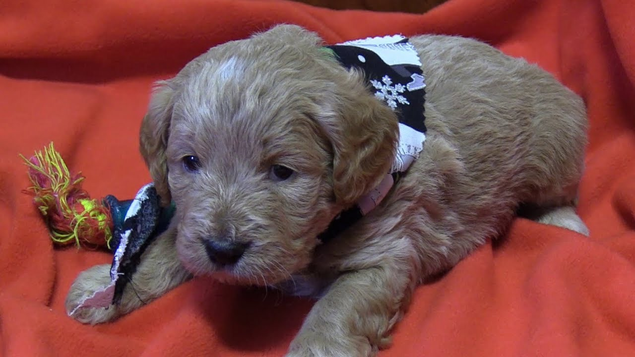 Bella's F1b Mini Goldendoodle Puppies on 12/6/2018