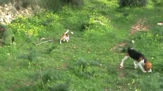 Caccia al coniglio- beagle hunt- rubbit running