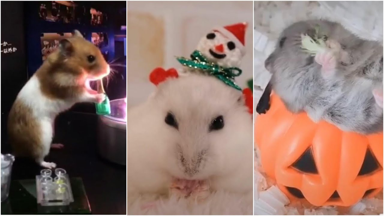 Baby Hamster, Lady Hamster, Family Hamster and We All need a HAMSTER - THAT'S FUNNY