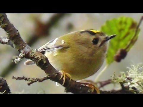 Goldcrest - Birds in Slow Motion