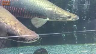 arapaima fish or dinosaur fish aquarium tank