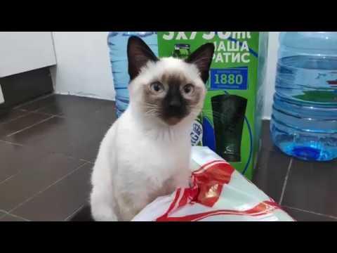 Siamese kitten Zumbula's plastic bag fascination June 24 2019