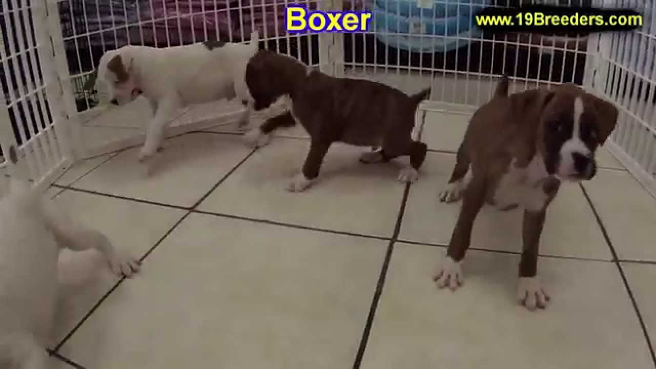 Boxer, Puppies, Dogs, For Sale, In Lexington, County ...