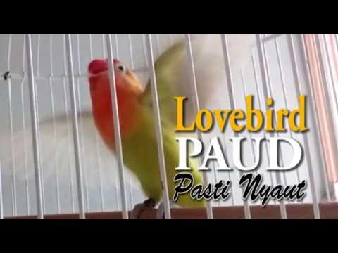 Lovebird Paud Pasti Nyaut