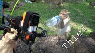 Monkeys Steal my Drone
