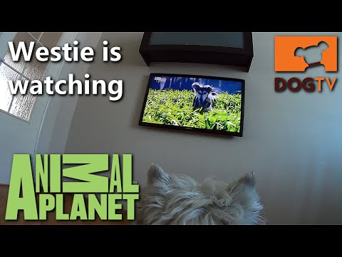 Westie is watching DogTV at Animal Planet