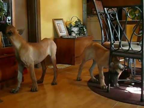 16 week old 100% Euro Fawn Male Great Dane Pups - YouTube