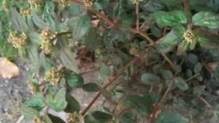 cỏ sữa lá lớn - mot trong nhung vi thuoc tri benh gan nhu the nao