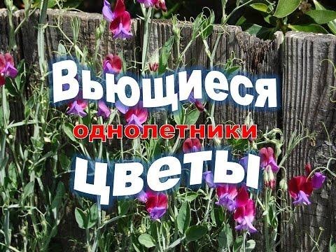 ✿ღ ✿Вьющиеся однолетние цветы Виды вьющихся растений в саду ✿ღ ✿