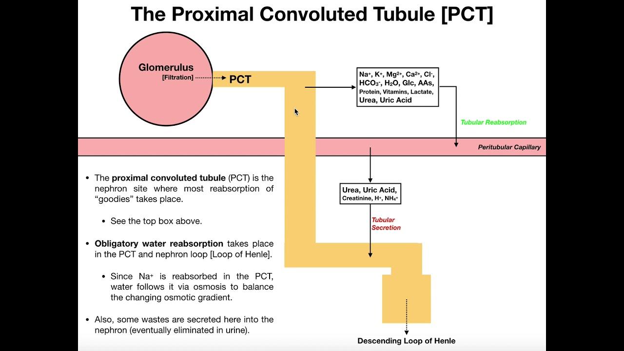 Function Of Proximal Convoluted Tubule - slidesharedocs