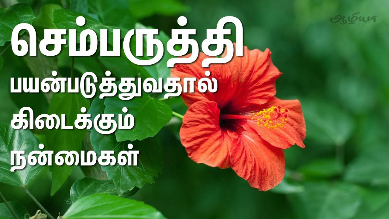 hibiscus benefits in tamil hibiscus in hibiscus benefits in tamil hibiscus in tamil izmirmasajfo