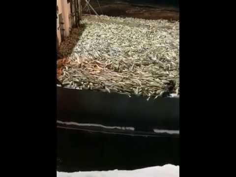 Выгрузка сахалинского сейнера, палуба которого забита навагой