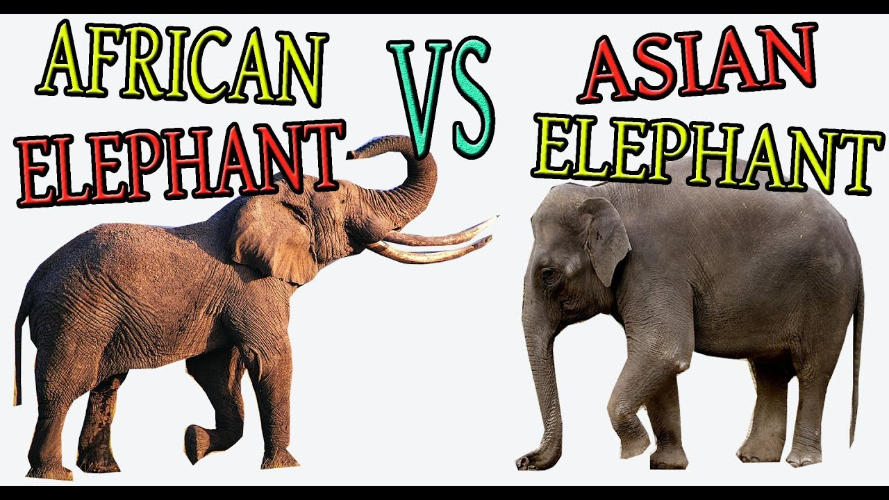 What Is The Difference Between African Elephan And Asian Elephant