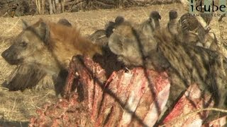 Hyenas & Vultures: Natures Clean-Up Crew #youtubeZA