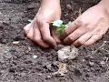 membuat kebun semangka di lahan yang sempit