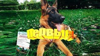 Мы первые или Что произошло на самой первой выставке моего щенка немецкой овчарки Дум