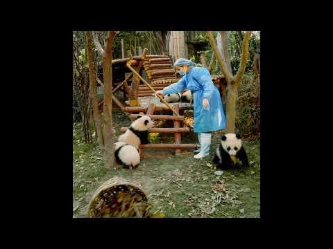 Pandas 3D at Marbles IMAX