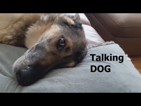 talking-german-shepherd.-proof-that-german-shepherds-are-great-family-dogs.