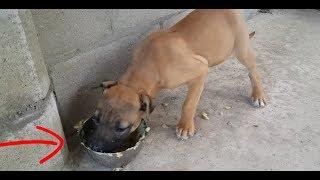 Чем кормить бойцового щенка Ам стаффа?What to feed a puppy fight Am Staffa??